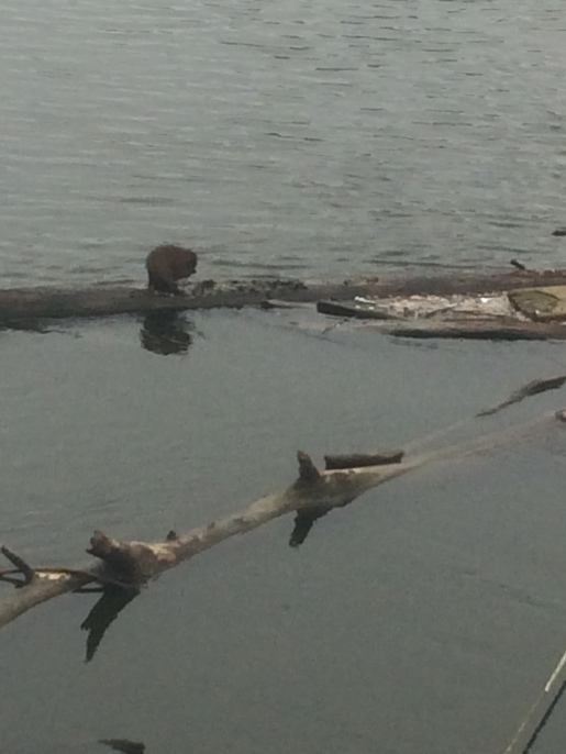 That little bump on the log isn't just anything... THAT'S A RIVER OTTER!!!!!!!!!!!!