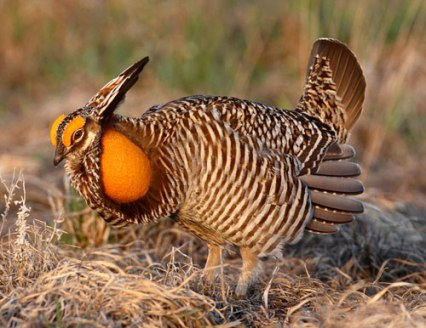This is a Prairie Chicken... I love them!